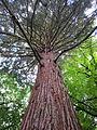 Laurelhurst Park, Portland - Sequoiadendron giganteum, 2012.JPG