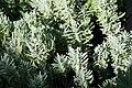 Lavandula angustifolia Lavenite Petite 0zz.jpg