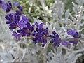 Lavender (28228885201).jpg