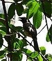 Lechosero ajicero Southern Greyish Saltator (Saltator coerulescens brewsteri) 2641823282.jpg