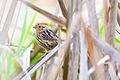 Leconte's Sparrow (Ammodramus lecontii) (22276234878).jpg