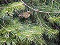 Lemon-rumped Warbler (14572235064).jpg
