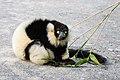 Lemur (26618425017).jpg