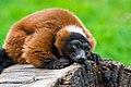 Lemur (36568496256).jpg