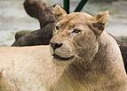 Leona (Panthera leo), Zoo de Ciudad Ho Chi Minh, Vietnam, 2013-08-14, DD 04.JPG