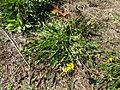 Leontodon saxatilis plant8 (14446408917).jpg