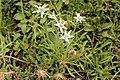 Leontopodium alpinum L. 2.jpg
