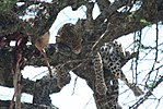 Leopard with kill.jpg