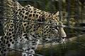 Leopardo at Berlin zoo (2483630845).jpg