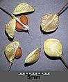Lepidium perfoliatum sl31.jpg