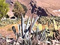 Les figues berberes à DEHAHNA 1 - panoramio (1).jpg
