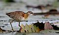 Lesser Jacana, Microparra capensis, Chobe River, Botswana (32065114182).jpg