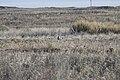 Lesser Prairie Chicken Habitat, Yoakum County (24749114619).jpg