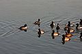 Lesser Scaup and hybrid duck 1768.jpg