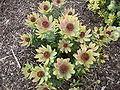 Leucadendron tinctum bush.JPG