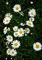 Leucanthemum vulgare - flowers.jpg