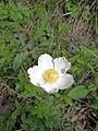 Leutratal-Anemone-sylvestris-0569.jpg