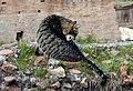 Licking Cat in Largo di Torre Argentina, Rome (cropped).JPG