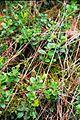 Lieberoser Heide Vaccinium vitis idaea.jpg