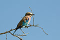 Lilac-breasted Roller 2355681774.jpg