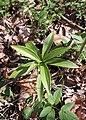 Lilium martagon kz01.jpg