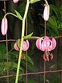 Lilium martagon opening.jpg