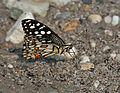 Lime Butterfly (Papilio demoleus) at Jayanti, Duars, West Bengal W Picture 183.jpg