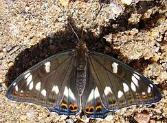 Limenitis populi-02.jpg