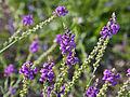Linaria purpurea-IMG 9328.jpg