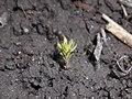 Linaria vulgaris 2018-04-12 8252.jpg
