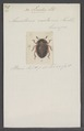 Liodes - Print - Iconographia Zoologica - Special Collections University of Amsterdam - UBAINV0274 016 02 0142.tif