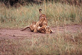 Lion Cubs Wrestling.jpg