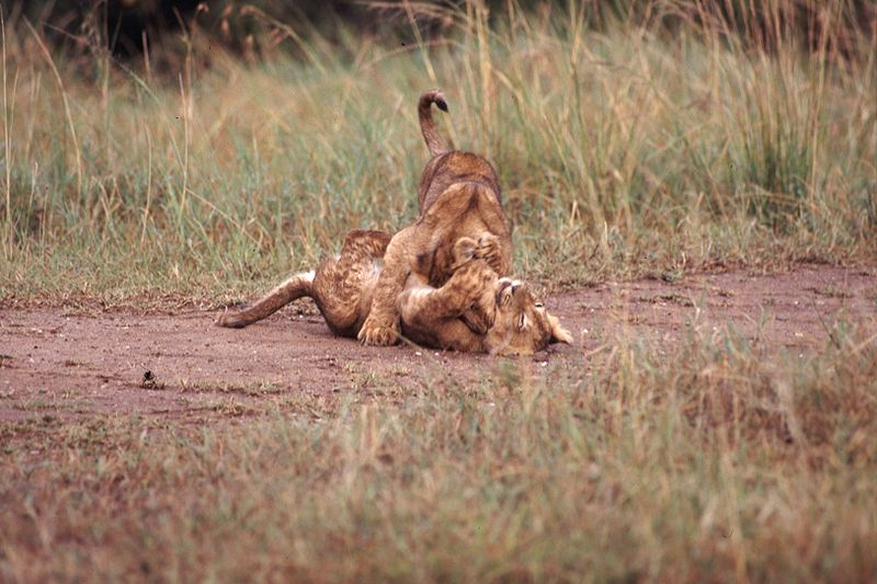 File:Lion Cubs Wrestling.jpg