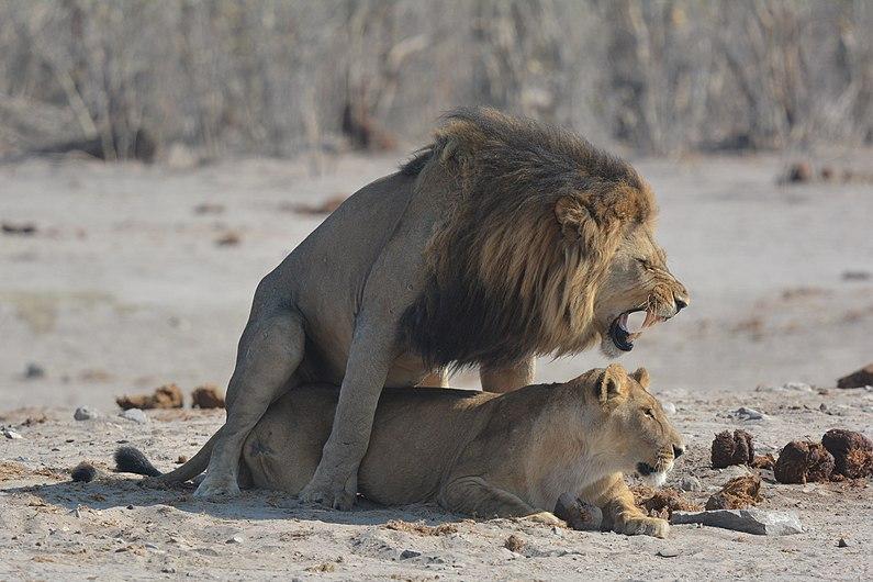 Lion et lionne lors d'un accouplement.jpg