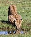 Lioness drinking.jpg
