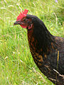 Lismore-rooster.jpg