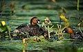Little Grebe (Tachybaptus ruficollis) feeding chicks, Parc de Woluwé, Brussels (15278427089).jpg