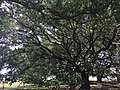 Live Southern Oak trees at The Big House of Whitney Plantation - 2016.jpg