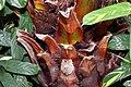 Livistona chinensis 6zz.jpg