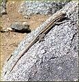 Lizard, Joshua Tree NP 4-13-13d (8661303978).jpg