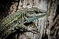 Lizard (25980737261).jpg