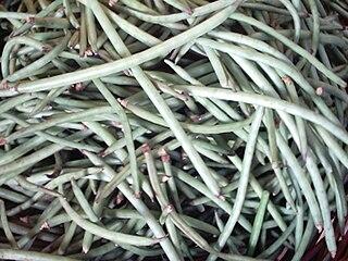 Cowpea Species of plant