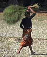 Local women collecting Broom grass from the forest.jpg
