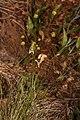 Lomatium triternatum 4609.JPG