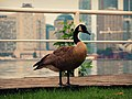 Lone Goose (6066251947).jpg