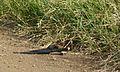 Long-tailed Paradise-Whydah (Vidua paradisaea) (6022022639).jpg