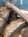 Long-tailed chinchilla.jpg