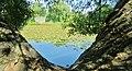 Looking through the V tree... Regard en V... - panoramio.jpg