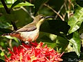 Loten's Sunbird Female (Cinnyris lotenius) (17881440660).jpg
