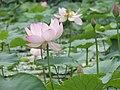 Lotuses (28894661825).jpg